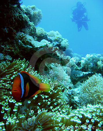 anemone clownfish scuba diver philippines
