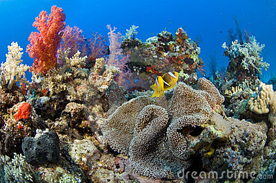 Anemone coral patch