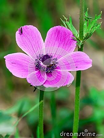 Free Anemone Coronaria Stock Photo - 34628530