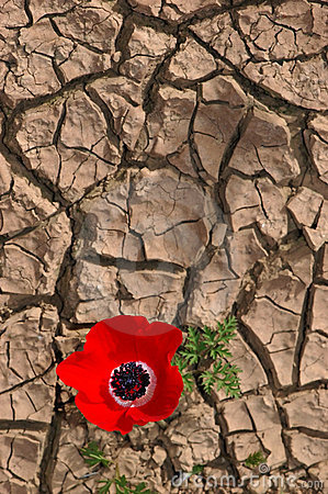Anemone on a cracked mud background