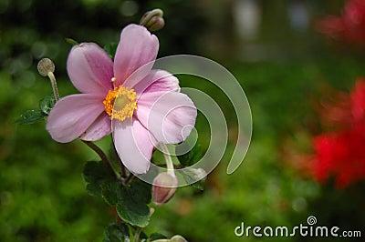 Anemone Flower