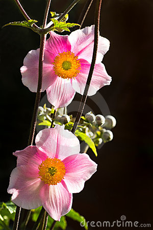 Anemone japonica or Japanese anemone flowers