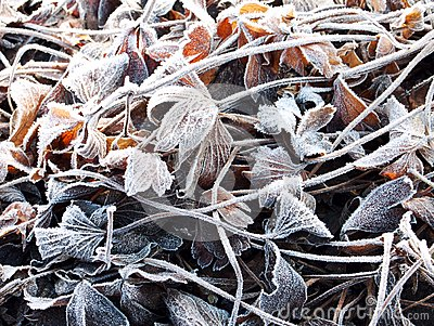 The anemone leaves covered with a frost