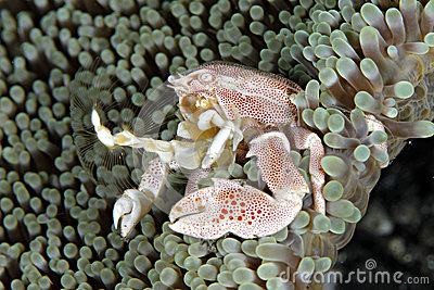Anemone Porcelain Crab