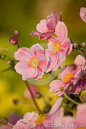 Anemone,September Charm
