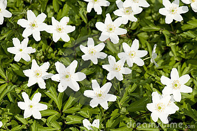 Anemone spring flowers