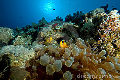Anemonefish and bubble anemone