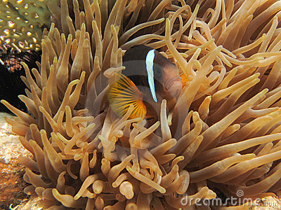 Anemonefish hiding in an Anemone
