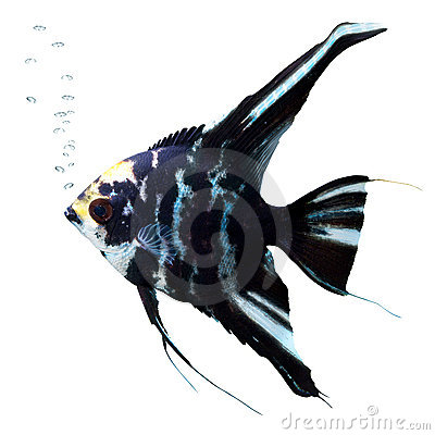 Angel fish with bubbles. Scalare