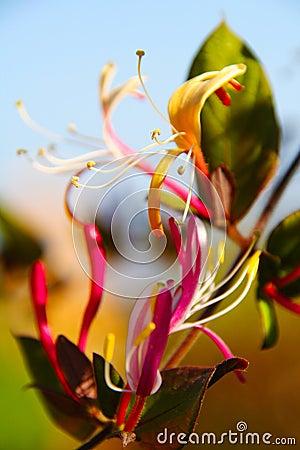 Angel s flame flower