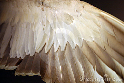 Angel wing (bird feathers from below)