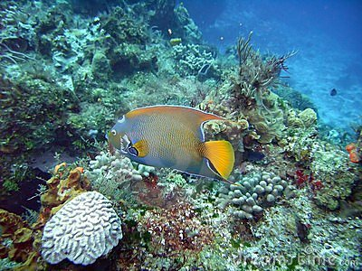 ферзь angelfish