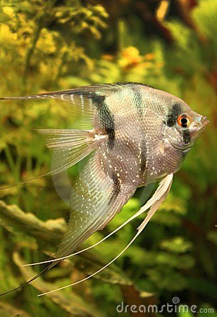Angelfish royalty free stock photo for Black and white striped fish freshwater