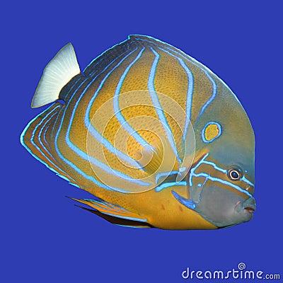 Free Angelfish Stock Photos - 98103