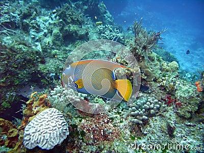 Angelfish della regina