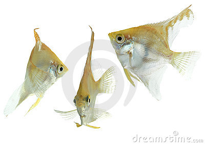 Angelfish (gold) - collection