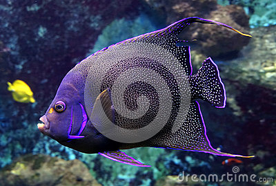 Portrait of nice spotted angelfish.