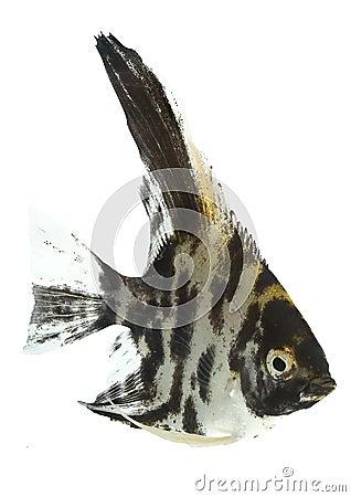 Angelfish (Pterophyllum scalare) - black
