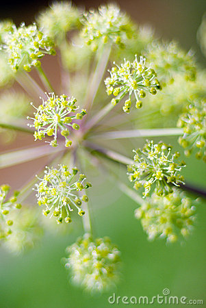 Angelica plan. Shallow depth-of-field