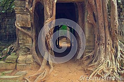 Angkor在索马里兰ta结构树wat的印度榕树门