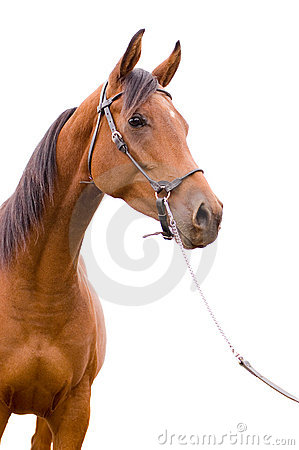 Free Anglo-arab Horse Stock Photos - 11317943