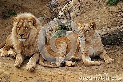 Serengeti National Park >> Angola Lion, Lion And Lioness Stock Photos - Image: 1535743