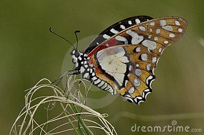 Angolan White Lady Butterfly