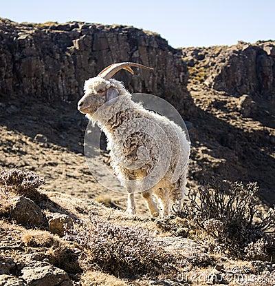 Free Angora Goat Is Feeding In The Drakensberg, Lesotho. Stock Photos - 74903673