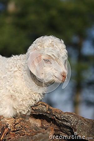 Free Angora Goat Kid Stock Images - 20429014