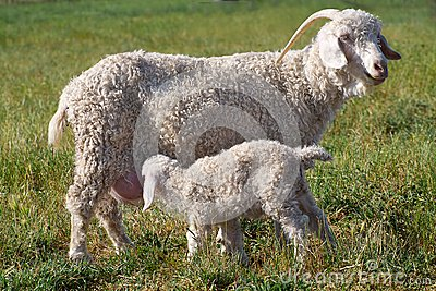 Angora mother and son
