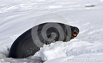 Angry Antarctic Weddell seal