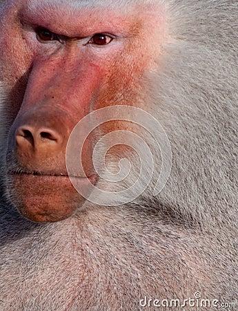 Free Angry Baboon Stock Image - 13526641
