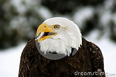 Angry Bald Eagle (Haliaeetus; leucocephalus)
