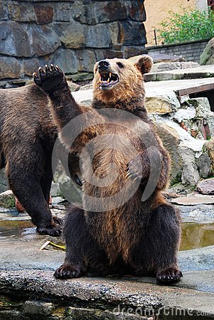 Angry big brown bear with open mouth asking for food