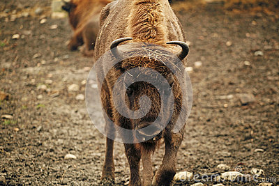 Angry Bison Stock Photos - Image: 28768653