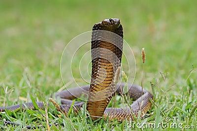 Angry Cape Cobra Snake