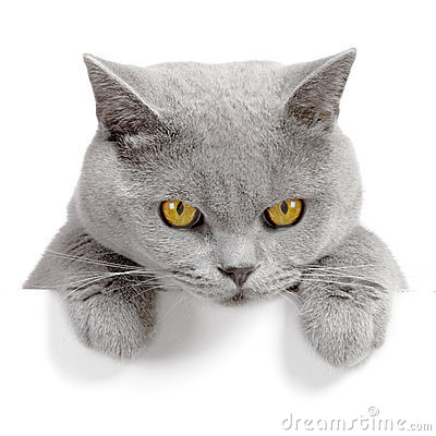 Free Angry Cat Banner Royalty Free Stock Photos - 2961198