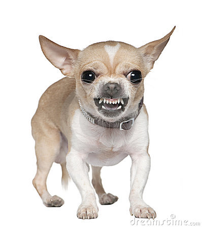 Angry Chihuahua growling, 2 years old