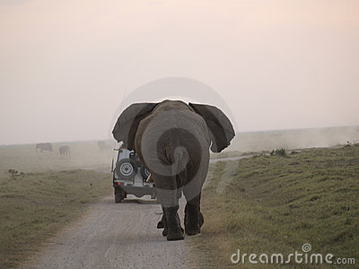 Angry elephant chasing car