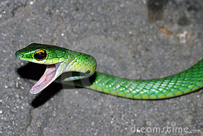 Angry green snake in Costa Rica