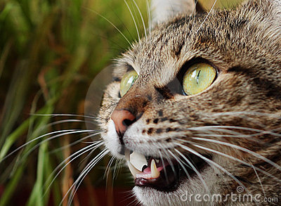Angry hunting cat