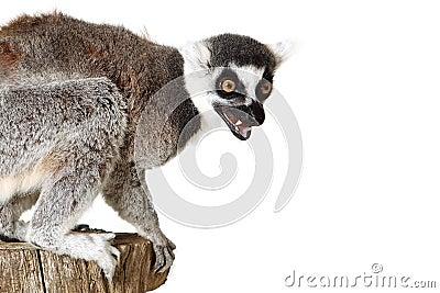Angry Lemur