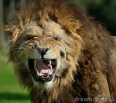 Free Angry Lion Royalty Free Stock Photo - 9709895