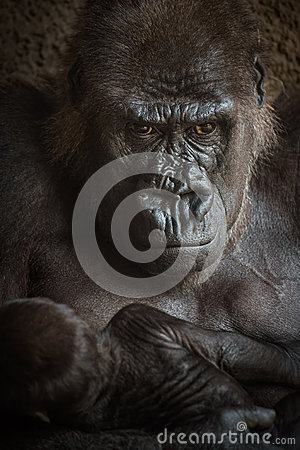 Free Angry-looking Gorilla With A  Baby Royalty Free Stock Images - 73383449