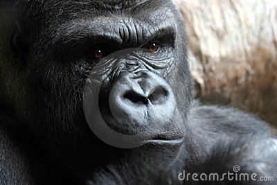 Angry Male Gorilla