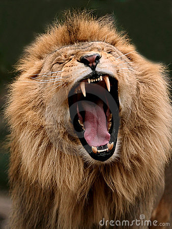 Angry Male Lion Stock Photos