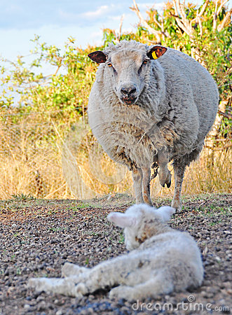 Free Angry Merino Ewe Sheep Protecting Her Baby Lamb Royalty Free Stock Image - 27049666