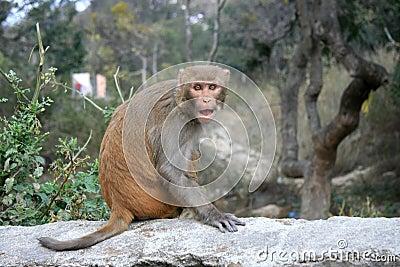 An angry monkey in Kathmandu of Nepal.