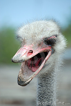 Angry ostrich head with a dirty open beak