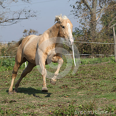 Angry palomino horse attacking